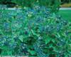 Blue Muffin Viburnum Foliage and Berries