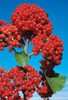Cardinal Candy Viburnum Berries with Blue Sky