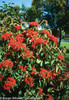Large Cardinal Candy Viburnum Bush With Berries