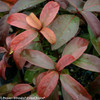 Red and Green Leaves on Handsome Devil Viburnum Foliage