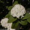 Red Balloon Viburnum Shrub Branches With White Flowers