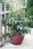 Shiny Dancer Viburnum Shrub in Garden Planter