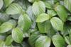 Shiny Dancer Viburnum Leaves