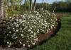 Row of Spice Baby Viburnum Shrubs Flowering