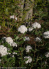 Spice Baby Viburnum Branches With Stems Full Of Blooms