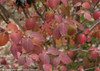 Spice Girl Viburnum Foliage Turning Red in Fall