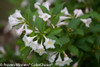 Sonic Bloom Pearl Weigela Foliage and Flowers