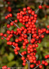 Berry Heavy Winterberry Holly Berry Cluster
