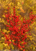 Berry Heavy Winterberry Holly Branches With Berries