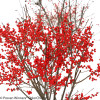 Berry Poppins Winterberry Holly Shrub With Lots of Berries