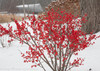 Berry Poppins Winterberry Holly Next to Tree in Winter