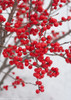 Berry Poppins Winterberry Holly Covered in Berries