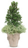 Castle Spire Blue Holly in Garden Planter