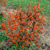 Little Goblin Orange Winterberry Holly Shrub With Berries