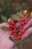 Holding Little Goblin Red Winterberry Holly