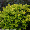 Pharos Gold Blue Holly Shrub Foliage