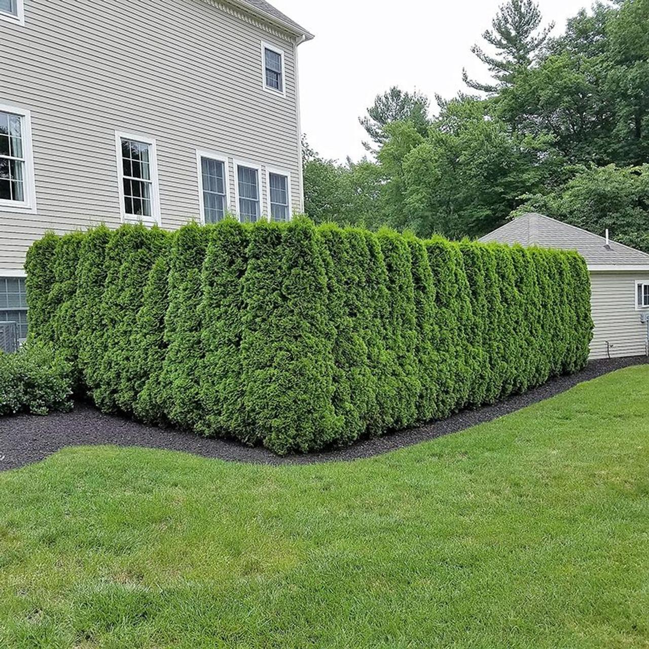 Arbor vitae hedge