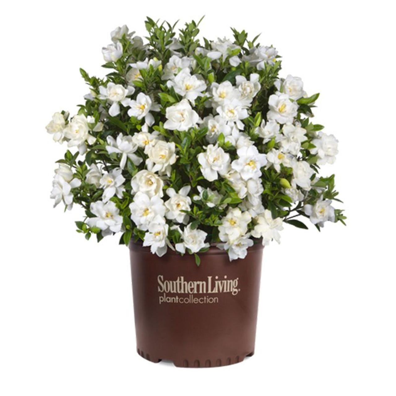 Bon Jubilation Gardenia Cropped