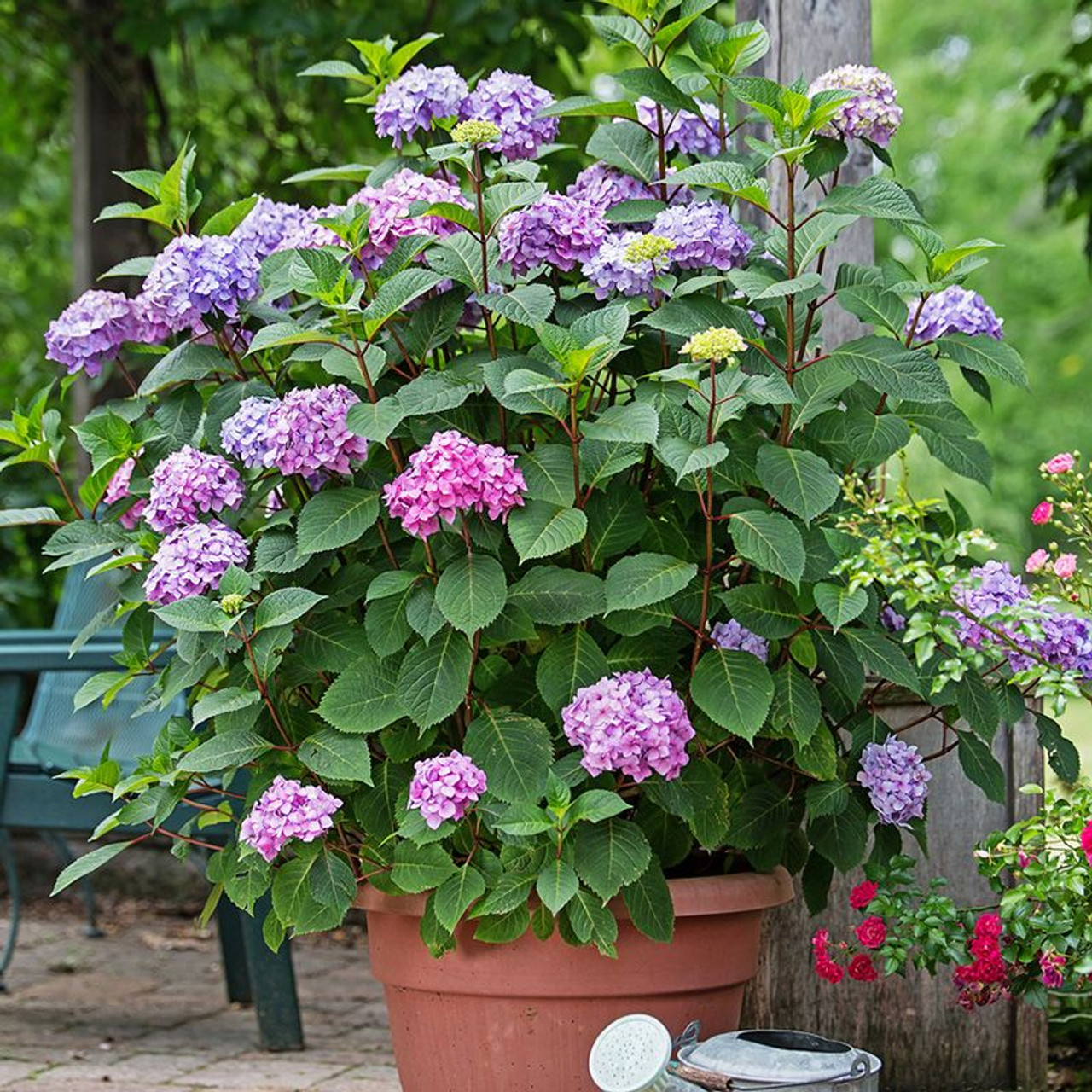 Endless Summer Bloomstruck Hydrangea Plantaddicts Com