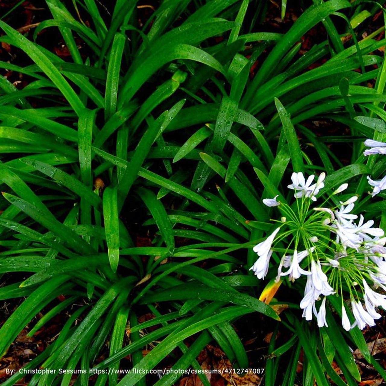 Mondo grass plantaddicts mondo grass cropped mightylinksfo
