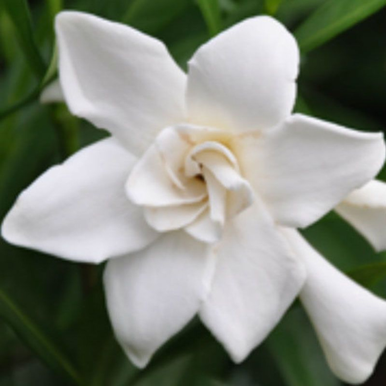 Frost proof gardenia plantaddicts frost proof gardenia white flower cropped mightylinksfo