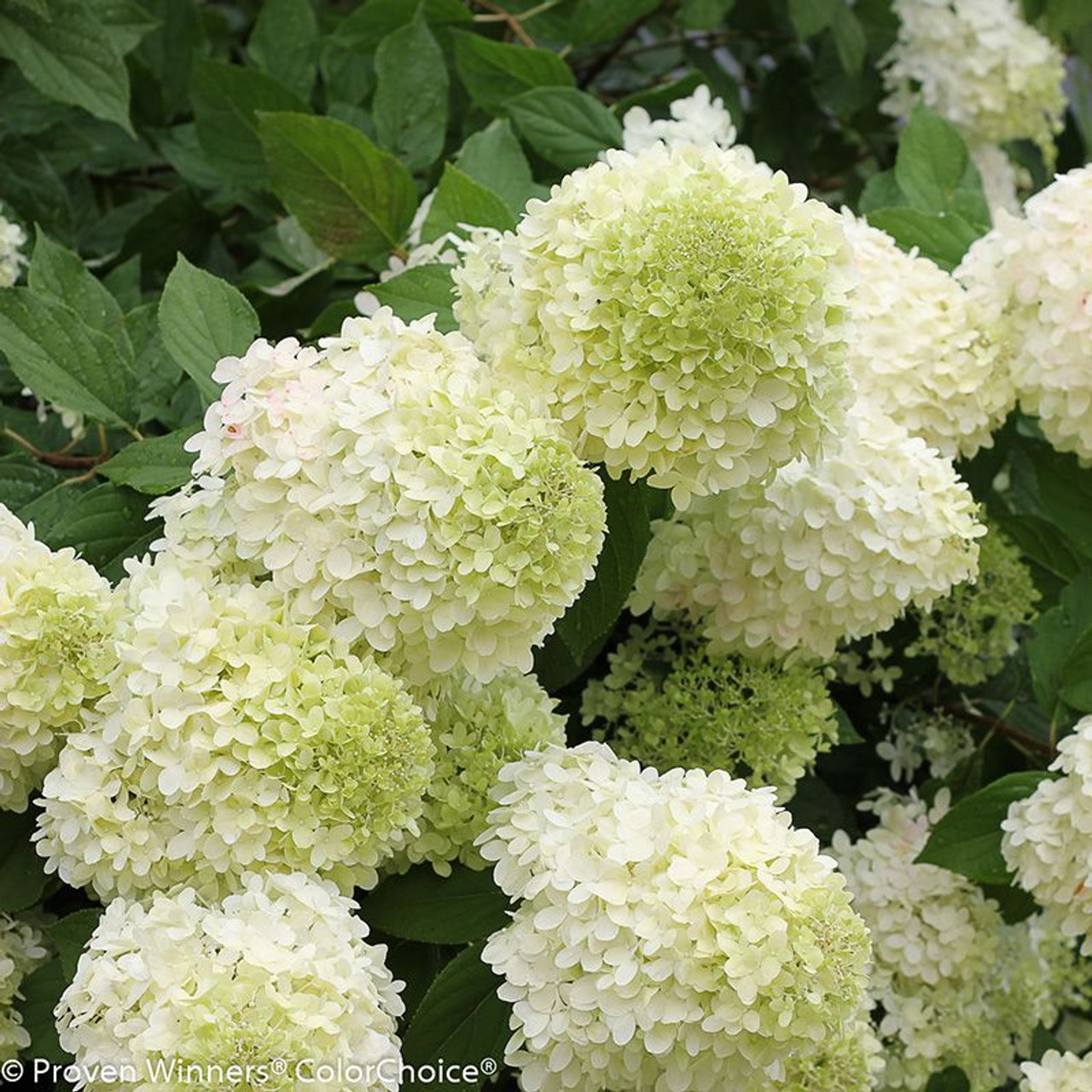 Well-liked Limelight Hydrangea | Plant Addicts VB54