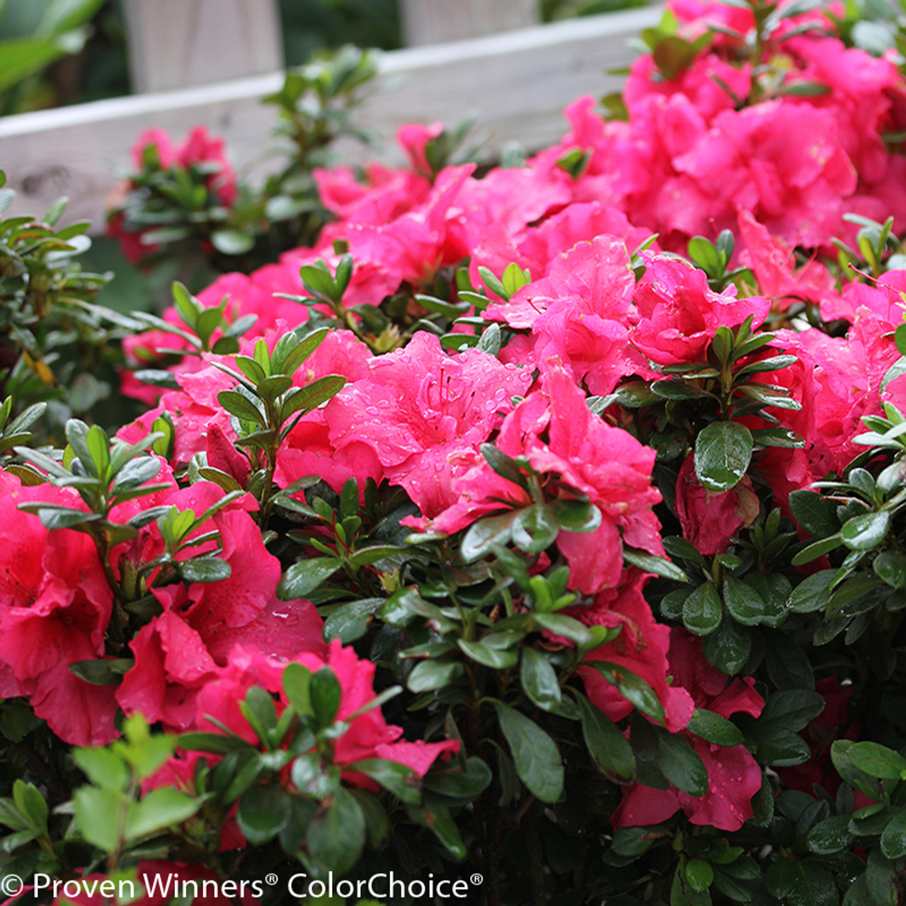 Bloom a thon hot pink azalea shrubs plant addicts bloom a thon hot pink azalea foliage and flowers mightylinksfo