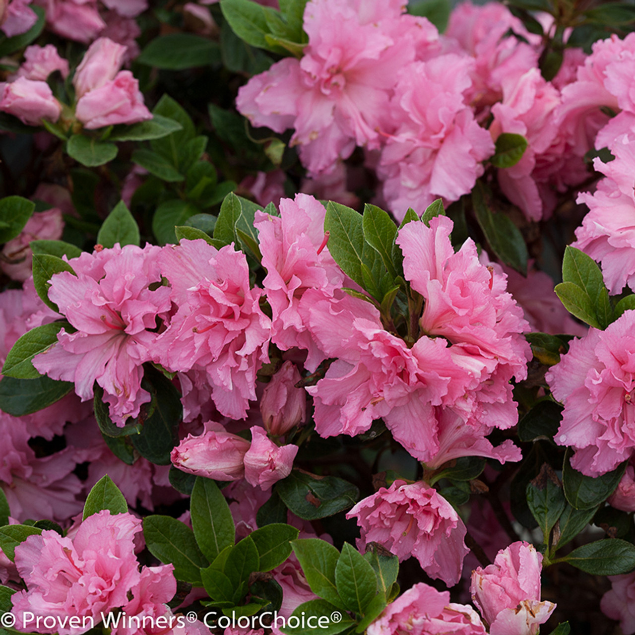Bloom a thon pink double azalea shrubs plant addicts bloom a thon pink azalea flowers and foliage mightylinksfo