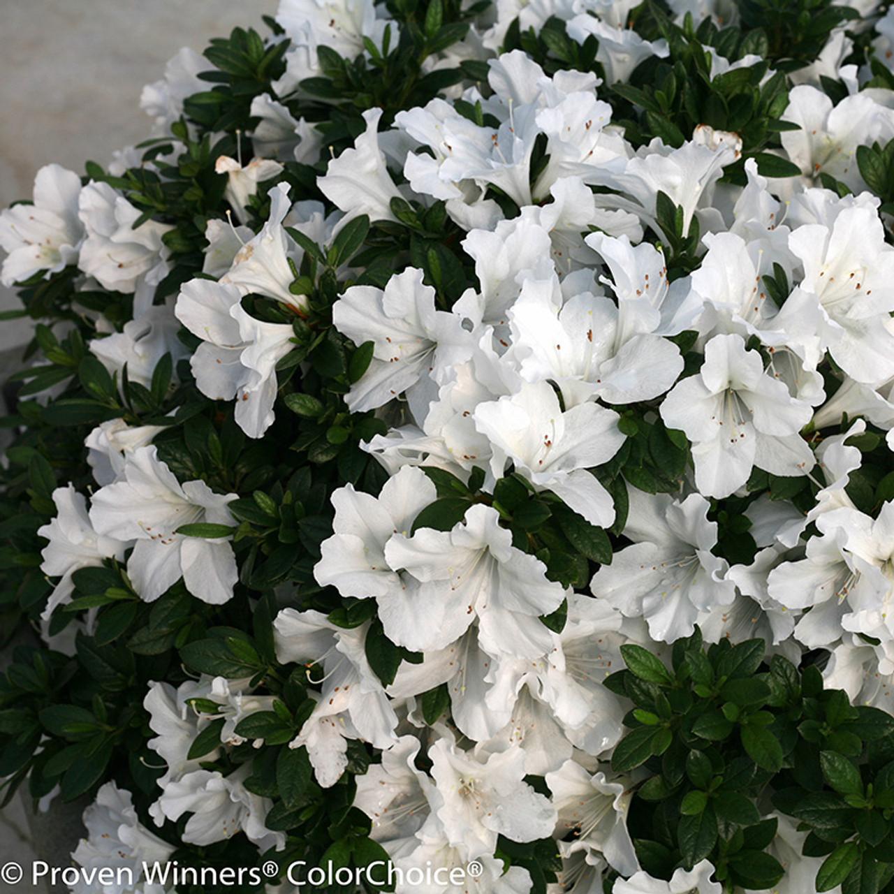 Bloom a thon white azalea shrubs plant addicts bloom a thon white azalea flowers mightylinksfo