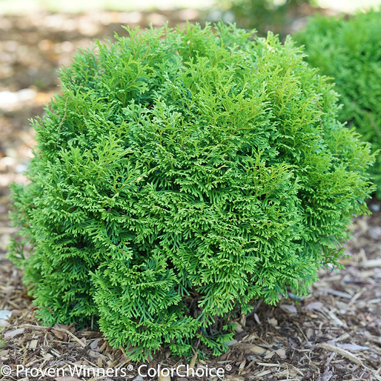 tater tot arborvitae shrubs plant addicts