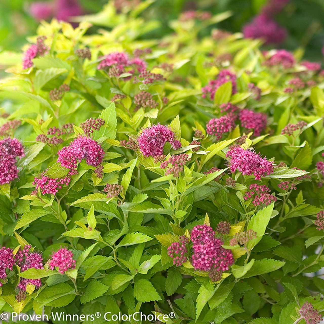 Double play gold spirea plant addicts double play gold spirea pink flowers and lime green leaves mightylinksfo