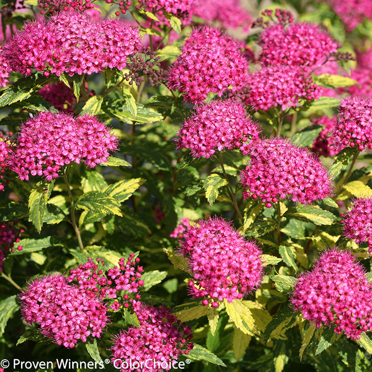 Double play painted lady spirea plant addicts double play painted lady spirea flower clusters mightylinksfo