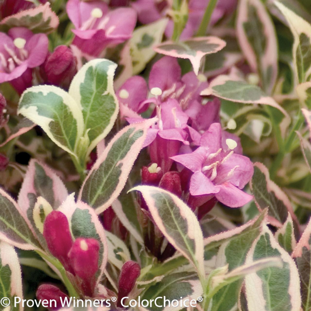 My monet weigela plant addicts pink and purple my monet weigela flowers mightylinksfo