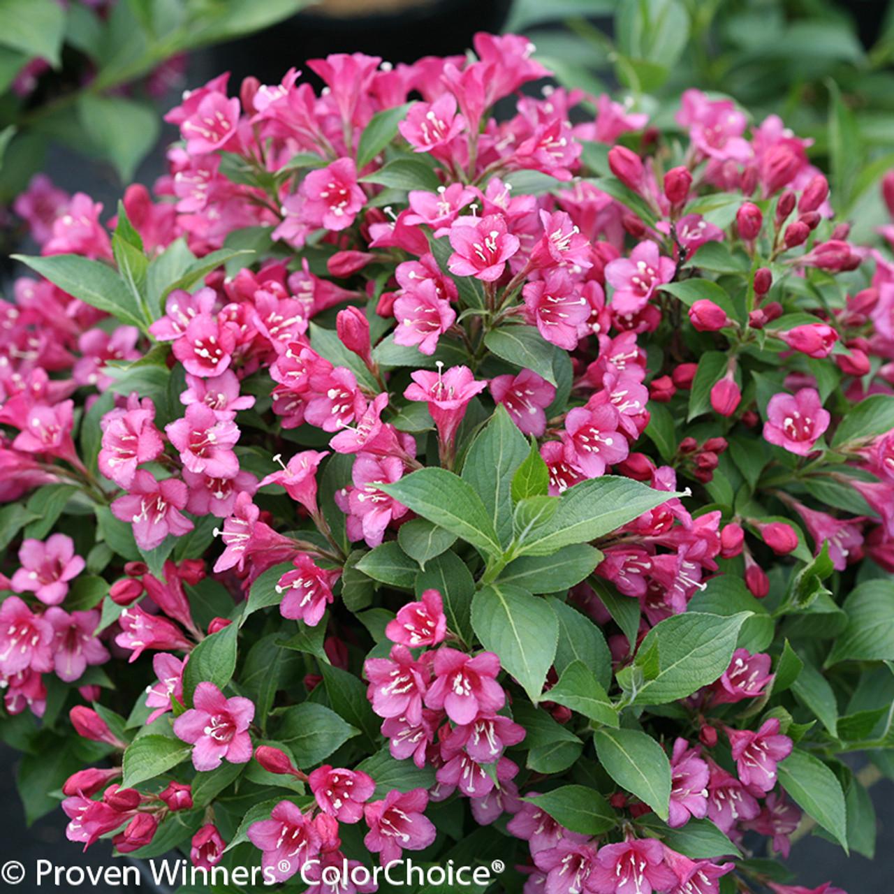 Snippet dark pink weigela plant addicts snippet dark pink weigela with pink flowers and green leaves mightylinksfo