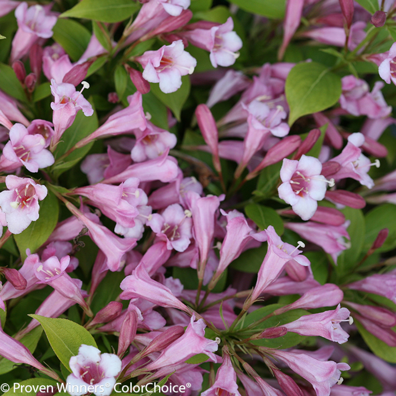 Snippet lime weigela plant addicts pink and white flowers on snippet lime weigela shrub mightylinksfo