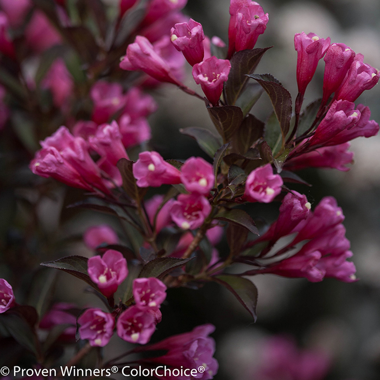 Wine And Roses 174 Weigela Plant Addicts