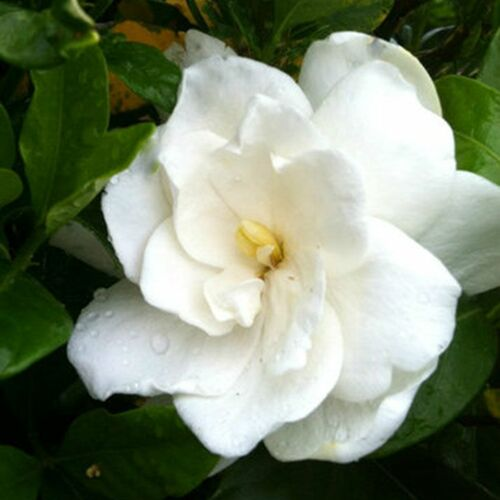 August Beauty Gardenia White Flower Cropped