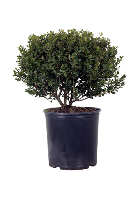 Compact Japanese Holly Plantaddicts Com
