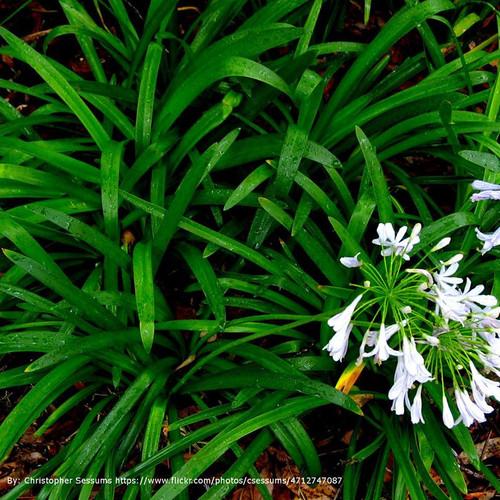 Ornamental grasses page 1 plant addicts mondo grass cropped mightylinksfo