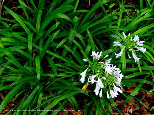 Mondo grass plantaddicts mondo grass white pink flowers mightylinksfo