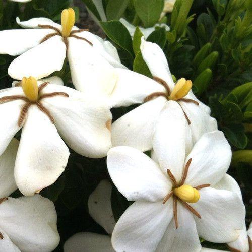 Nice Hardy Daisy Gardenia White Flowers