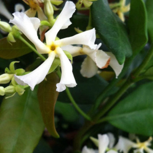Confederate Jasmine Vine White Flowers
