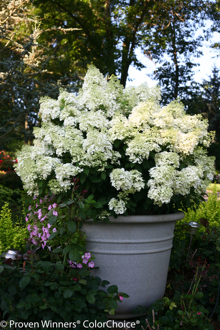 Bobo 174 Hydrangea Plant Addicts