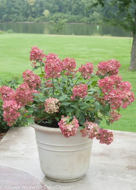 Fire Light® Hydrangea | Plant Addicts