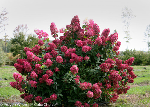 Fire light hydrangea plant addicts fire light hydrangea shrub with dark pink flowers mightylinksfo