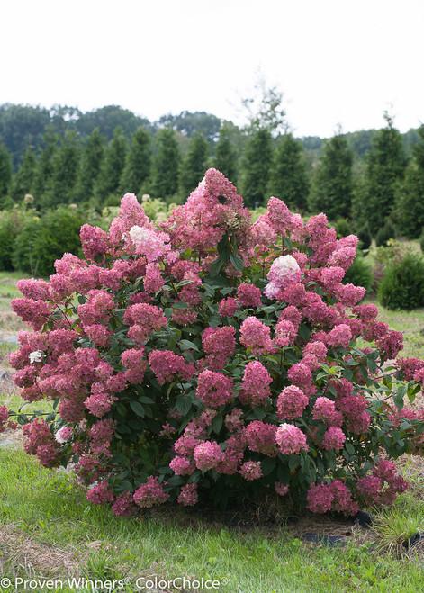 Fire Light 174 Hydrangea Plant Addicts