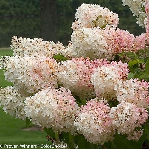 Paniculata hydrangeas peegee family plant addicts little lamb hydrangea flowers in pink and white mightylinksfo
