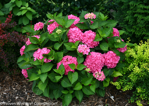 Lets dance rave hydrangea plant addicts lets dance rave hydrangea shrub with pink flowers mightylinksfo
