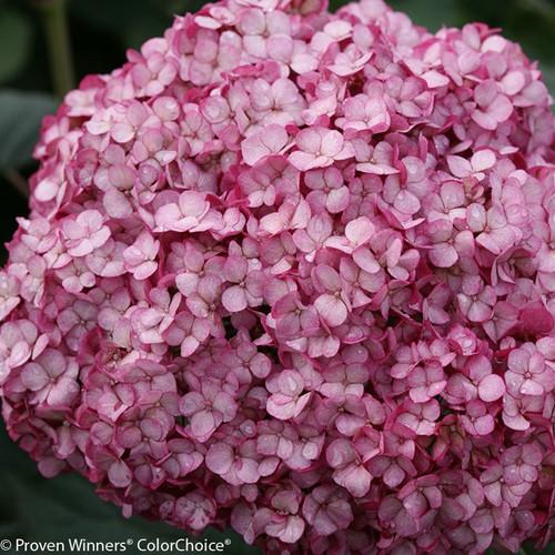 Smooth Hydrangeas Hydrangea Arborescens Plant Addicts