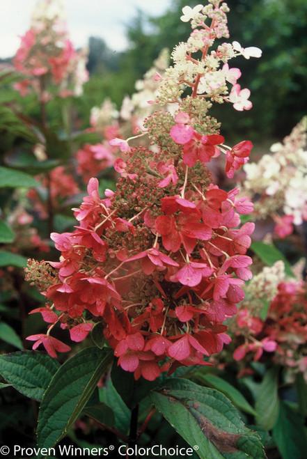 Pinky Winky 174 Hydrangea Plant Addicts